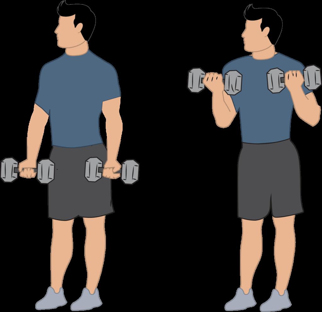 Curl biceps et mémoire musculaire