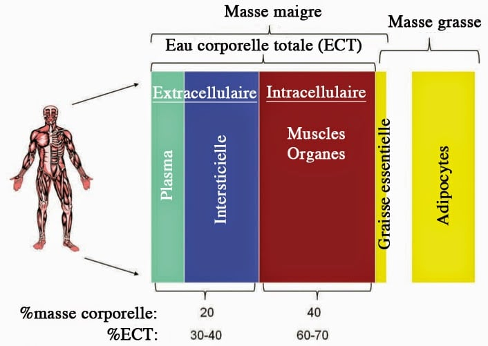 Calculer sa masse musculaire