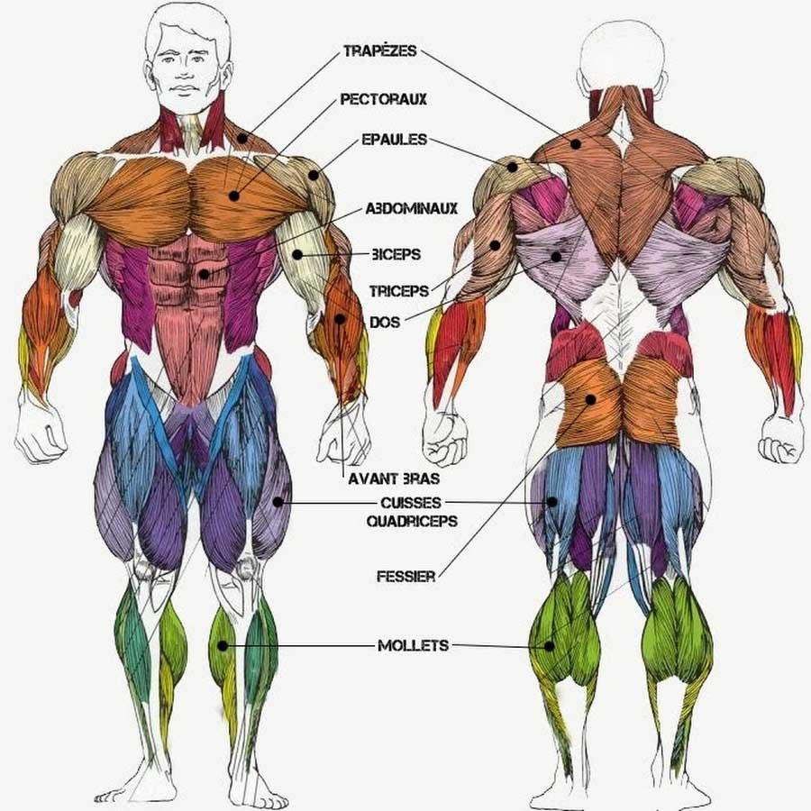 Le split training travaille les 5 groupes musculaire principaux