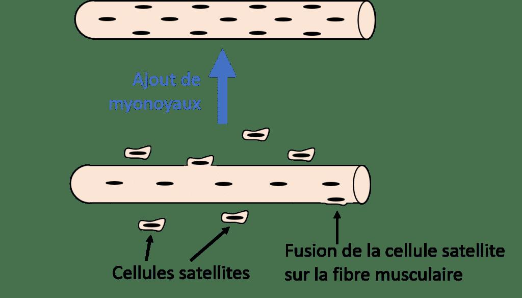 Développement cellulaire et mémoire musculaire