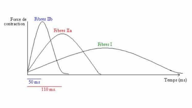Travail des fibres à contraction lente