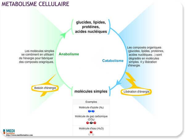 Il faut respecter le cycle anabolique et catabique pour assurer le maintien de la masse musculaire