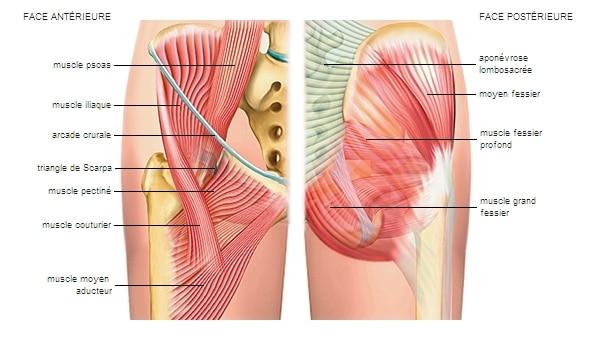 les différents muscles  de la hanches