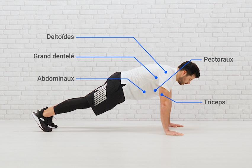 L'ensemble des muscles sollicités pendant les pompes