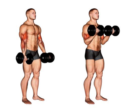 Les extensions de biceps