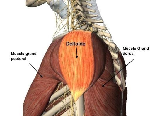 muscles tendus epaule