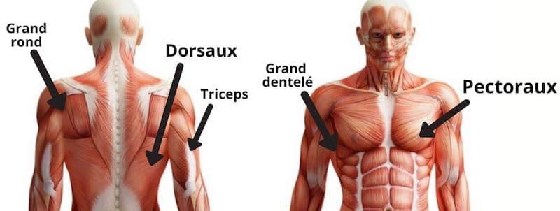 pull-over-muscles-sollicités